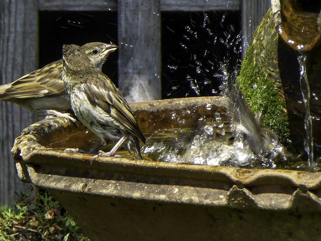 Sparrows enjoy bath time
