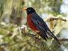 Day 7, American Robin, Tadoussac