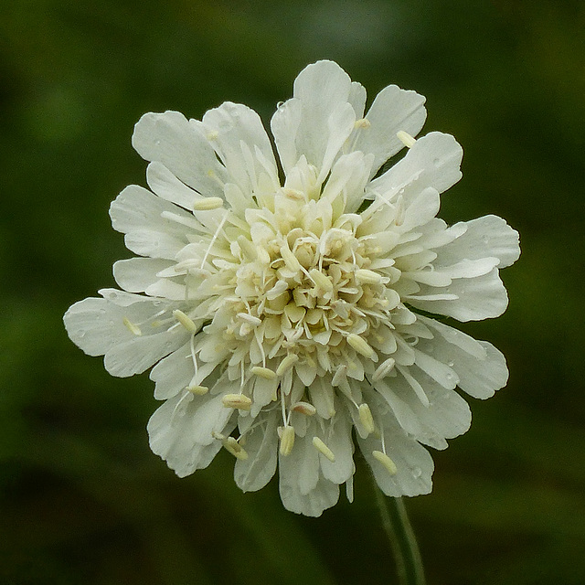 Scabious growing in the wild