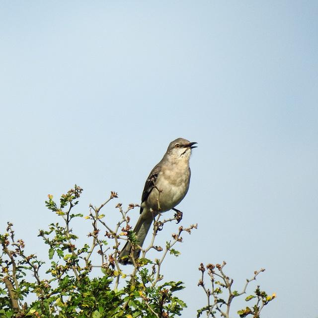 Day 9, Mockingbird, Resaca de la Palma SP