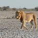 Namibia, Etosha National Park, Lion Walks Slowly to a Watering Hole