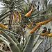 Mountain Aloe – Desert Botanical Garden, Papago Park, Phoenix, Arizona
