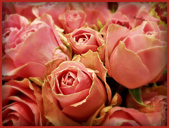 Des Roses pour votre plaisir ! et le mien loll