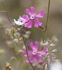 Silene colorata Poir. Caryophyllales