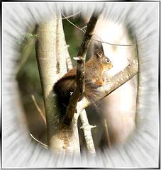 Oachkatzal (deutsch: Eichhörnchen, lat.: Sciurus vulgaris) ©UdoSm