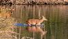 Cerf élaphe (Cervus elaphus) et biche, Red Deer and doe
