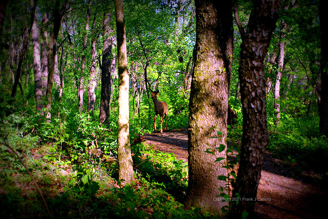 Deer On The Forest Trail