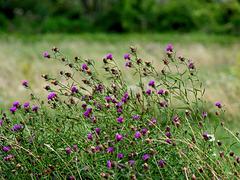 Common Knapweed (+PiP)