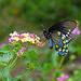 Pipevine Swallowtail (Battus philenor)(f)