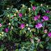 20150421 7722VRAw [D~RI] Rhododendron, Rinteln
