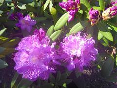Rhododendron in Knospe und Blüte