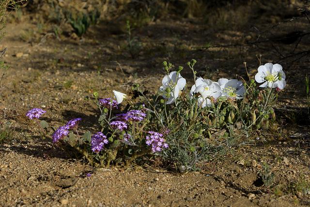 Sand Verbena and Birdcage Primrose