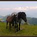 Noriker Morenkopf Pferd