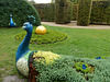 283 Die gepflanzten Pfauen - ein Kunstwerk im Pillnitzer Schlosspark