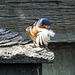 Barn Swallow with feather for its nest