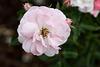 Rosenblüte im Rosensteinpark