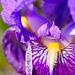 ... iris ...