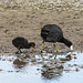 Coot baby following in Mom's footsteps