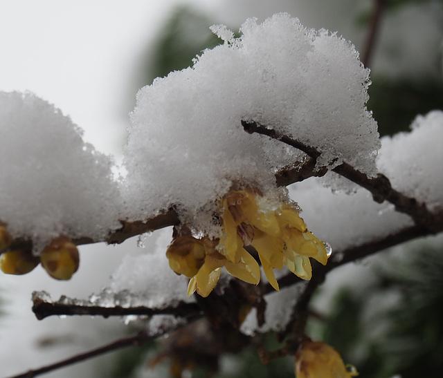 Winter Sweet  Chimonanthus