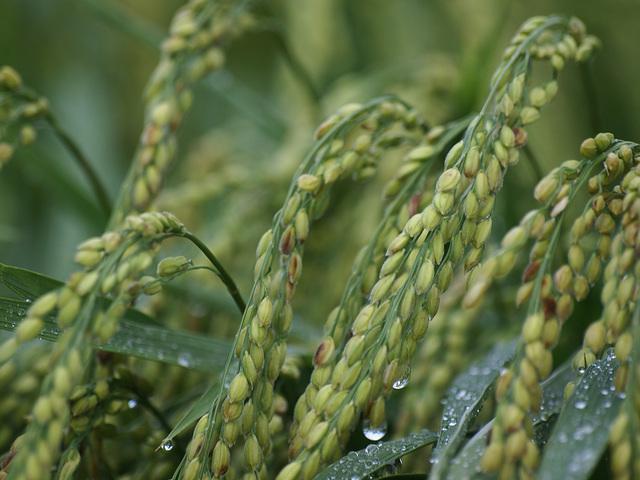 Green rice in the rain