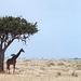 Giraffe & Tree