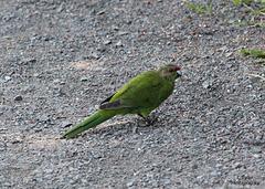 Red Crowned Parakeet - Kakariki