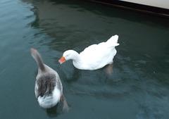 oaw - geese swimming