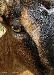 a goat look