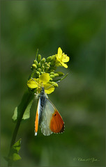 Orange tip ~ Oranjetipje (Anthocharis cardamines)...