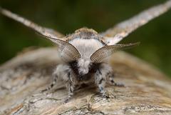 Sallow Kitten moth (Furcula furcula).