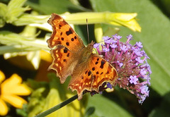 Comma Butterfly close up.