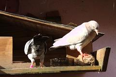 la résidence secondaire des pigeons