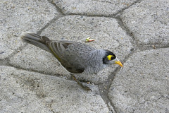 noisy miner: what's the problem?