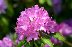 Fleur de rhododendron...