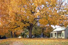 Fall Tree 1997