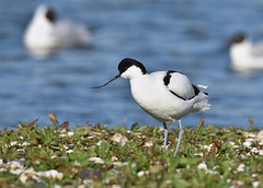 Szablodziób - Pied avocet (Recurvirostra avosetta)