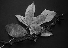 feuillée sénescente