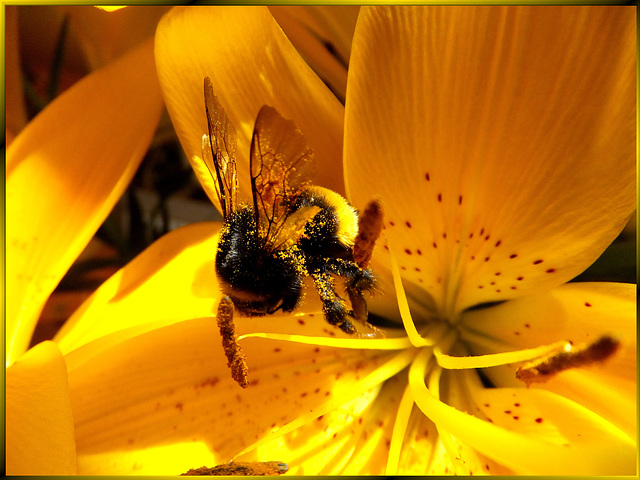 Tiger lily with Bumblebee... ©UdoSm