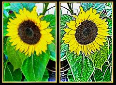 Sonnenblumen a la Van Gogh. ©UdoSm
