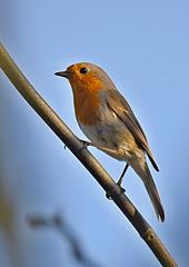 Rudzik - Robin