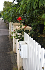 Red rose and white fence