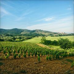 The new vineyard.