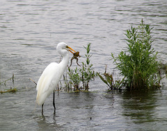 13/50 grande aigrette-great egret