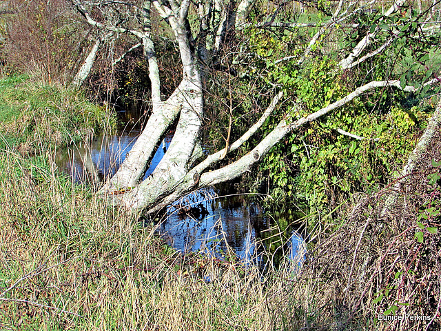 Dead Tree Over Stream.