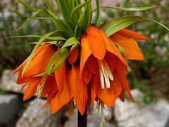 Kaiserkrone   /   Crown imperial lily