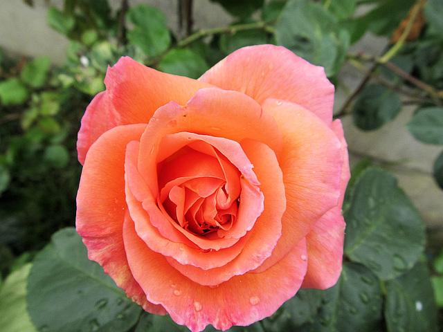 Margarets rose