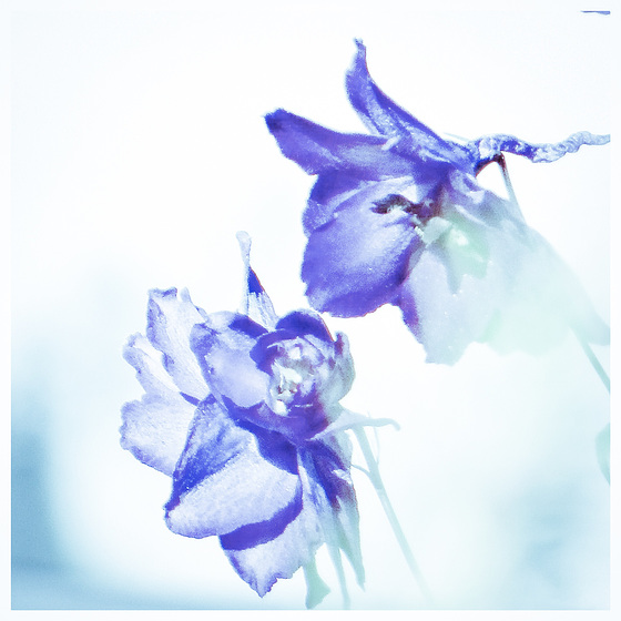 Digitally painted delphiniums