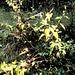 Autumn yellows