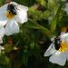 Cistus monspeliensis, Malvales, and bugs