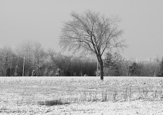 15/50 l'orme de M. Charbonneau, Mr. Charbonneau's elm tree